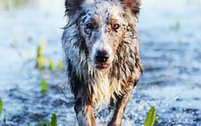 LEPTOSPIROSIS/WHY DOES THE VET CARE IF MY DOG SWIMS IN PONDS?